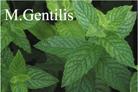 M.Gentilis