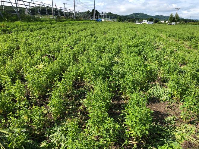 北海道も本格的な夏を迎える頃、ハッカの背丈もグングンと伸び続けます。 そして、同じく雑草も・・・。