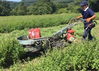 いよいよハッカの刈り取りの日を迎えました!機械と人の手を使いながら、数日間におよぶ刈取作業。